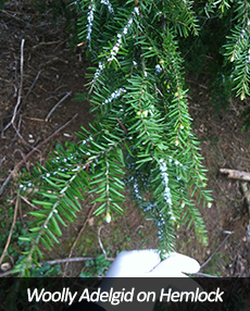 Woolly Adelgid on Hemlock